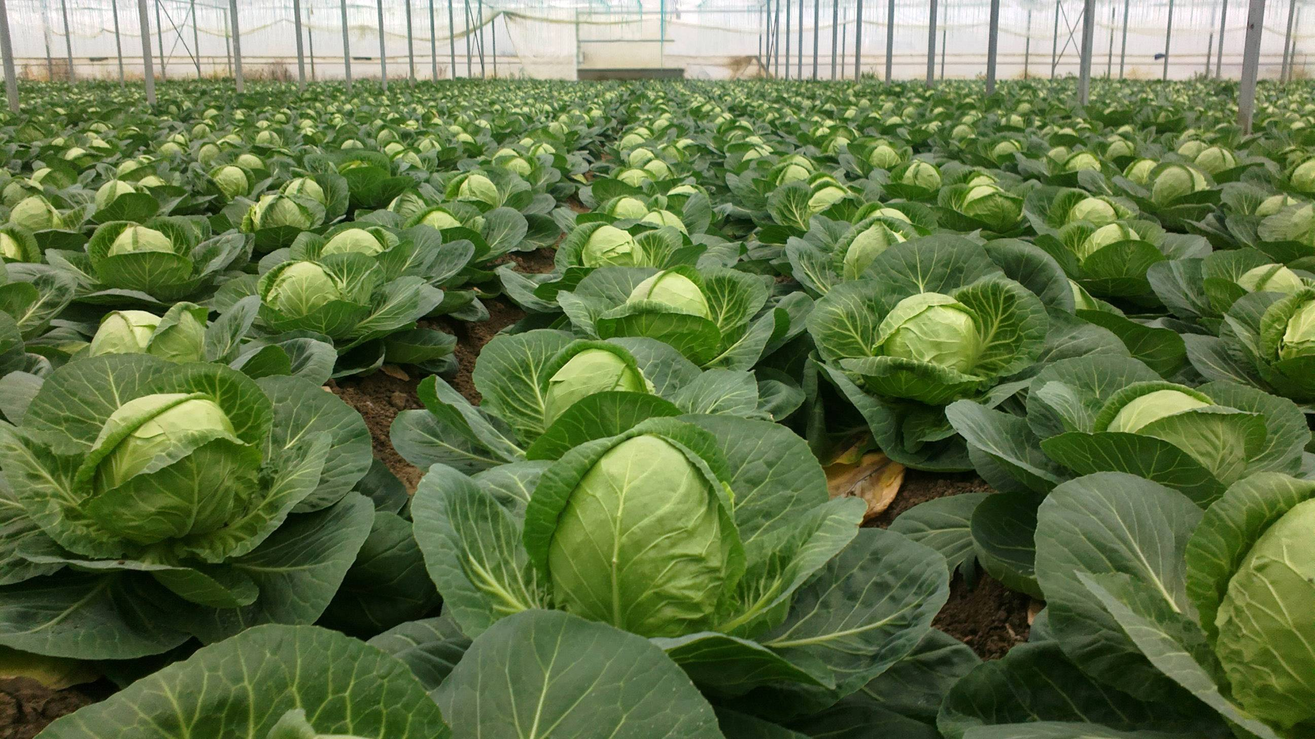 Калиевая селитра – универсальное удобрение для огорода, состав, свойства и применение, отзывы