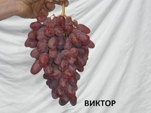 Виноград виктор,виноград виктор описание сорта