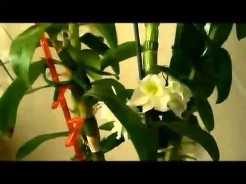 Дендробиум – изысканный гость из тропиков. как организовать правильный уход за орхидеей в домашних условиях?