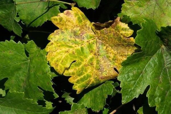 Почему желтеют и сохнут листья винограда?
