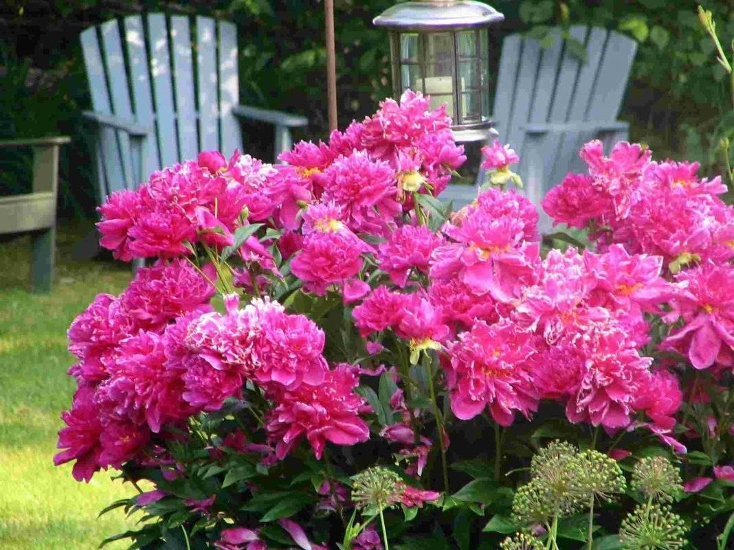 Пионы: какие бывают цветы, посадка, уход и выращивание