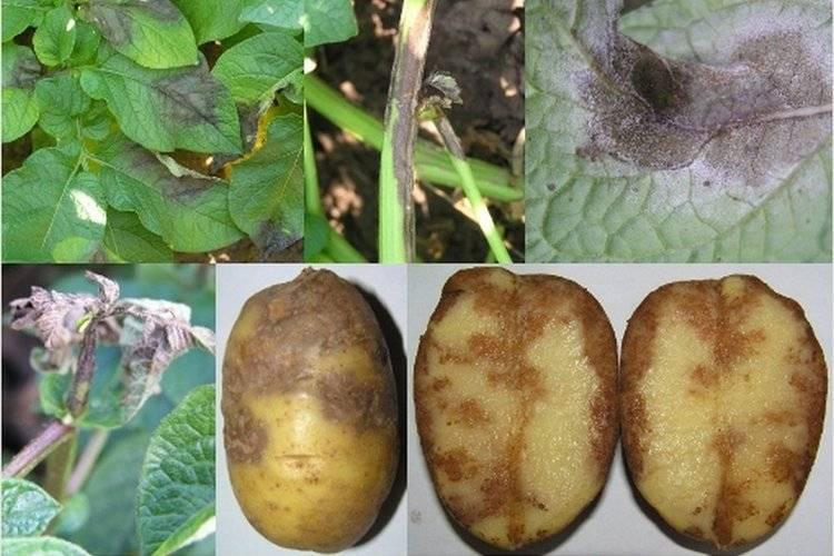 Большая ботва у картофеля: хорошо или плохо, что делать, можно ли ее срезать