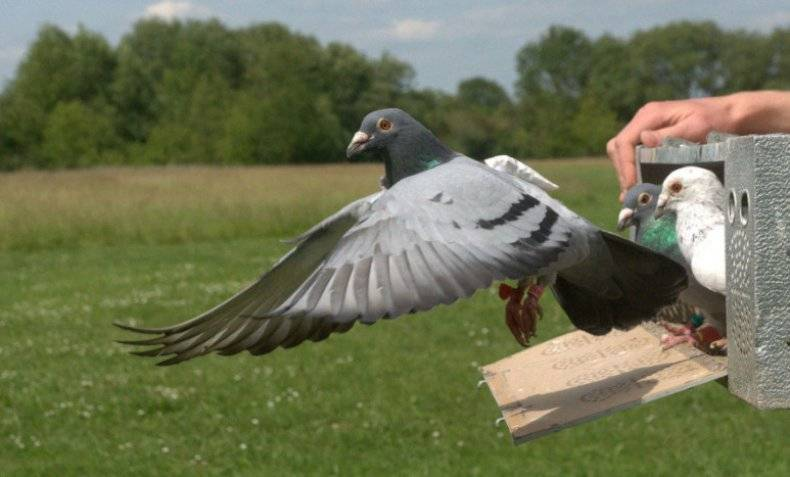 Почтовый голубь — как тренируют почтовых голубей и какие породы могут быть почтальонами
