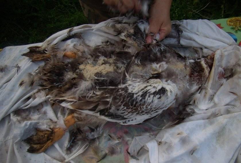 Забой утки в домашних условиях