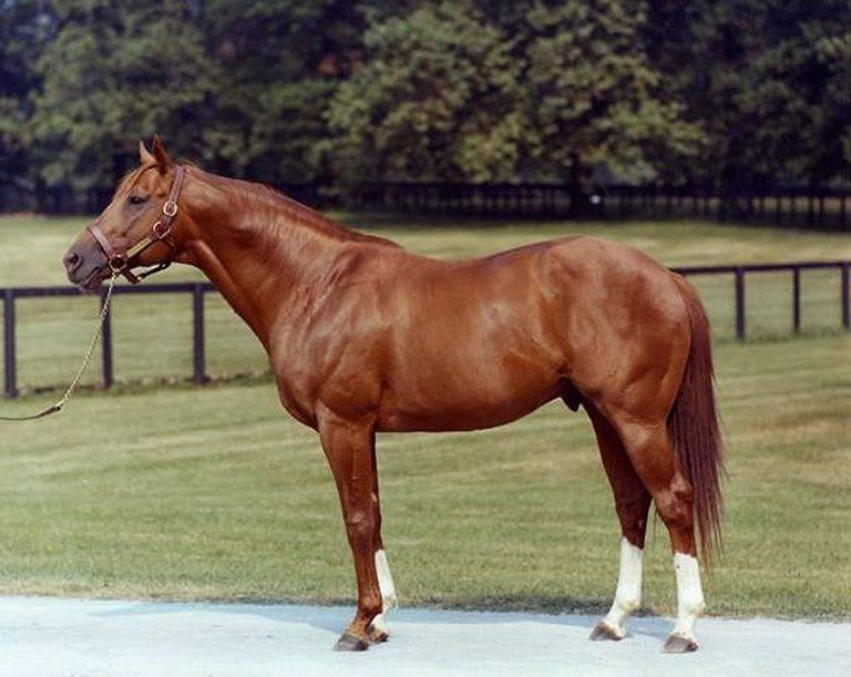 Лошадь английской чистокровной породы: чистокровная верховая лошадь выведена в англии