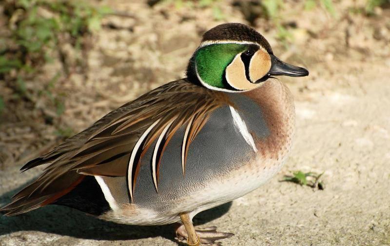 Чирок: маленькая уточка, речной свистунок, характеристика и описание птицы