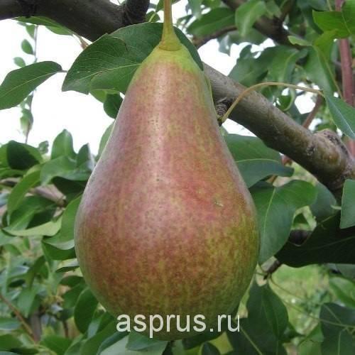 Груша шедевр анны — описание сорта, фото, отзывы садоводов
