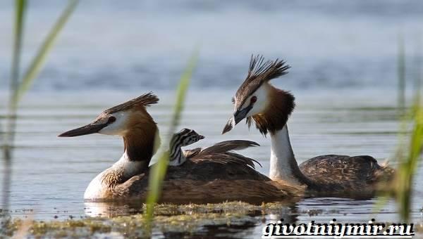 Птица поганка: почему так называется, описание