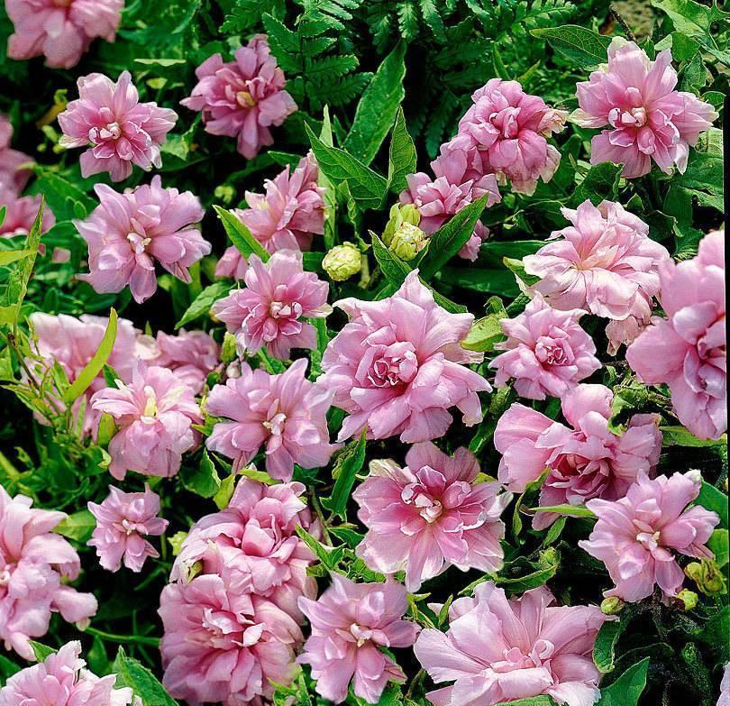 Калистегия (повой): посадка и уход, выращивание в саду, виды и сорта с фото