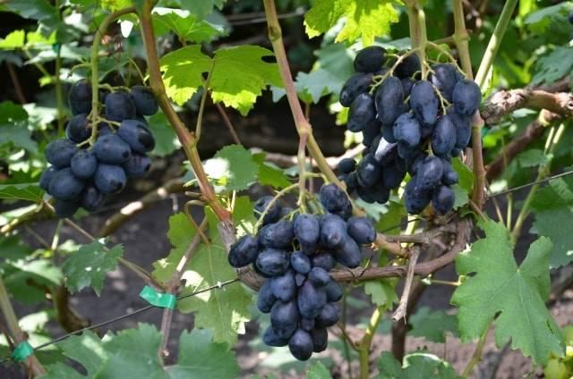 Виноград ромбик: описание сорта, правила посадки и выращивания виноград ромбик