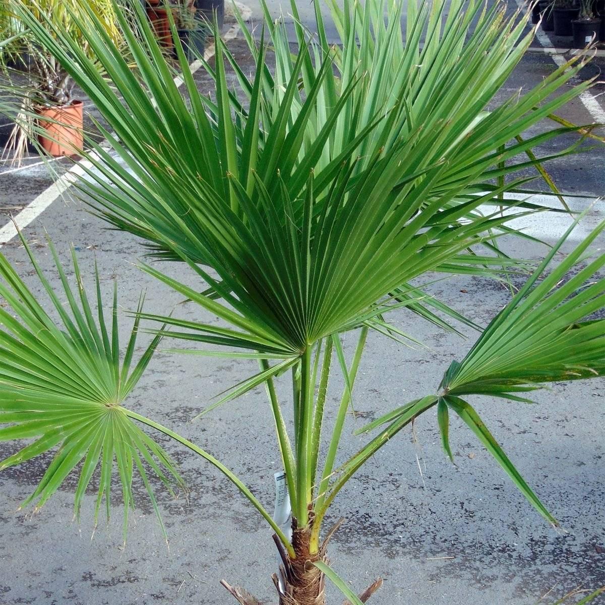 Виды комнатных пальм: описание с фото и названиями