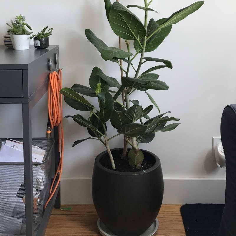 Фикус бенгальский: характеристики и особенности цветка, трудности ухода и размножения в домашних условиях, а также выращивание растения