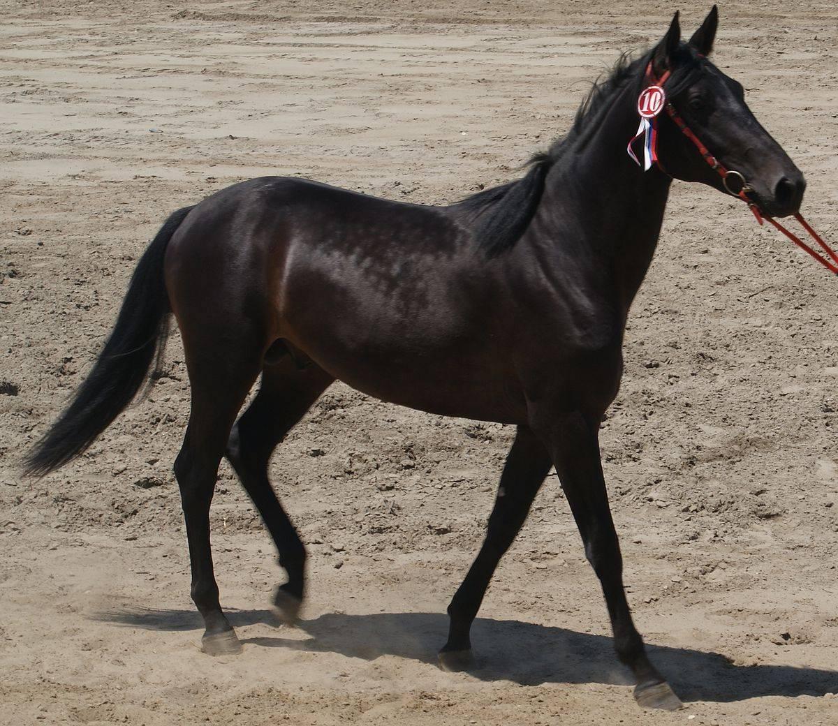 Размеры самой длинной лошади