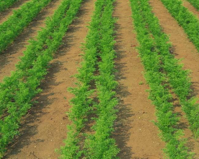 Обработка моркови керосином от сорняков