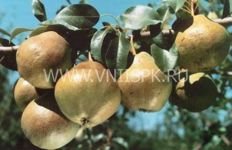 Груша северянка краснощекая: описание и фото плодов selo.guru — интернет портал о сельском хозяйстве