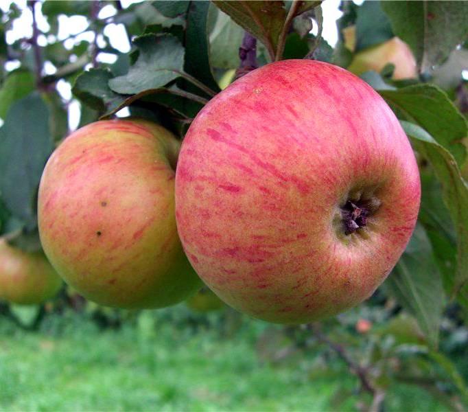 Марина — устойчивый уральский сорт яблони