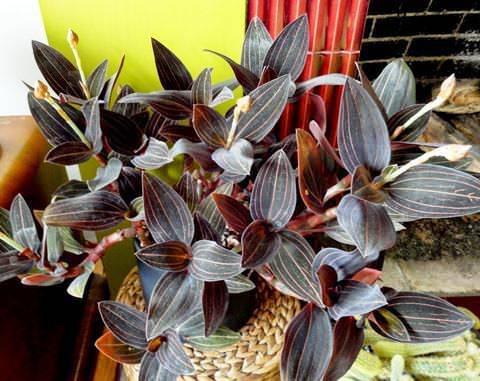 Орхидея лудизия драгоценная: описание цветка, фото сортов, рекомендации по размножению и уходу в домашних условиях русский фермер
