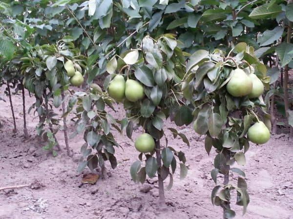 Лучшие сорта груши для выращивания в подмосковье