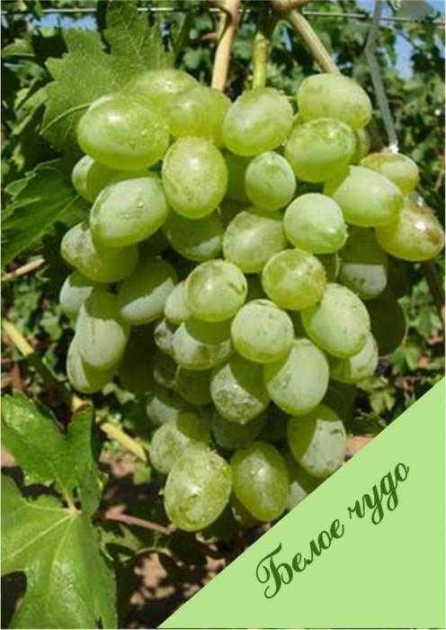 Виноград песня (шапка мономаха, белое чудо лии ov- 6): что нужно знать о нем, описание сорта, отзывы