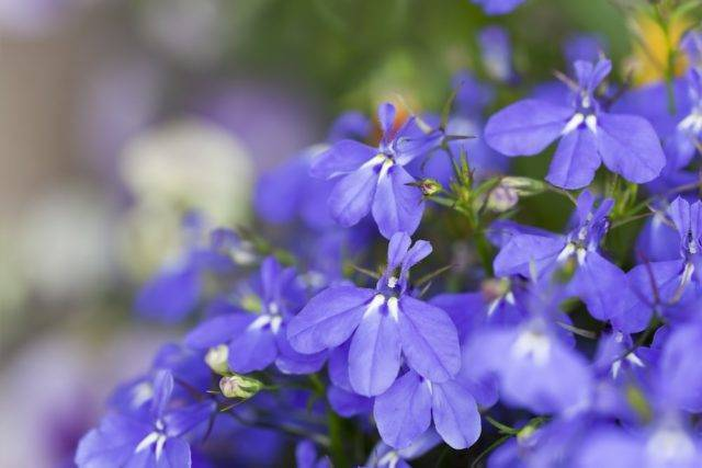 Лобелия многолетняя: сорта, посадка и уход за цветком + фото