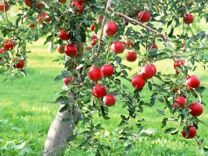 Сколько лет живет яблоня? способы продления жизни, плодоношения