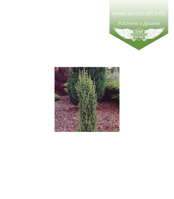 Можжевельник казацкий вариегата (juniperus sabina variegata)