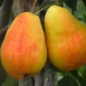 Груша лада: описание и полная характеристика сорта, отзывы садоводов + особенности посадки и ухода за фруктовым деревом