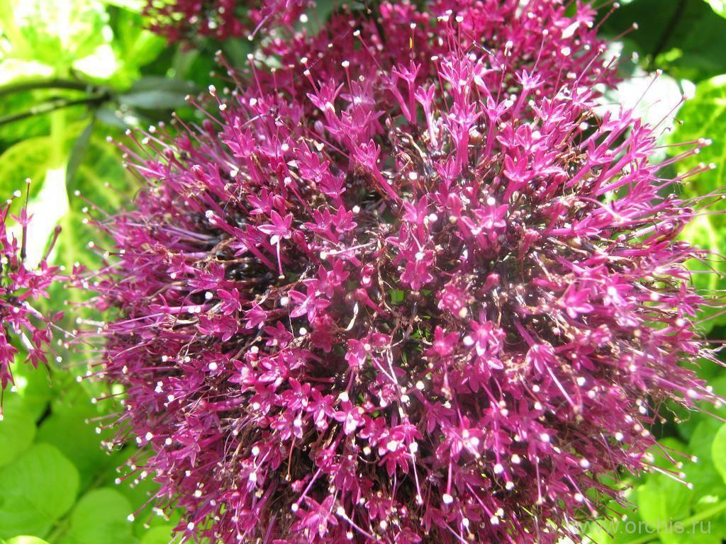 Трахелиум: описание и выращивание цветка, семенами, делением