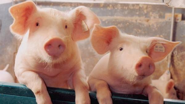 Как узнать вес свиньи без наличия весов?