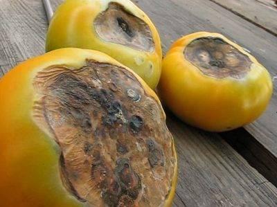Желтеют листья помидор в теплице: почему и что делать