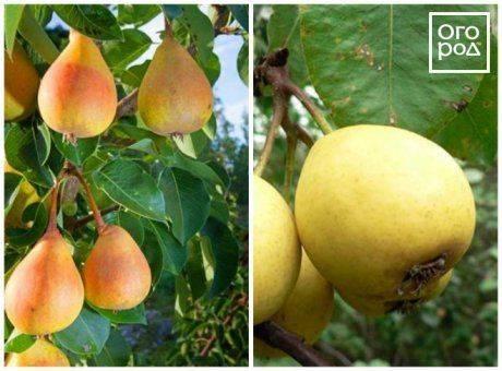 Декоративная однолетняя вьющаяся груша — миф или реальность?