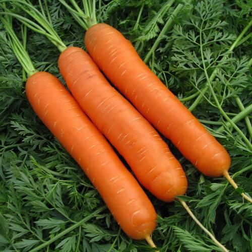 Как правильно выращивать морковь, чтобы получить богатый урожай: правила выращивания и ухода за корнеплодами