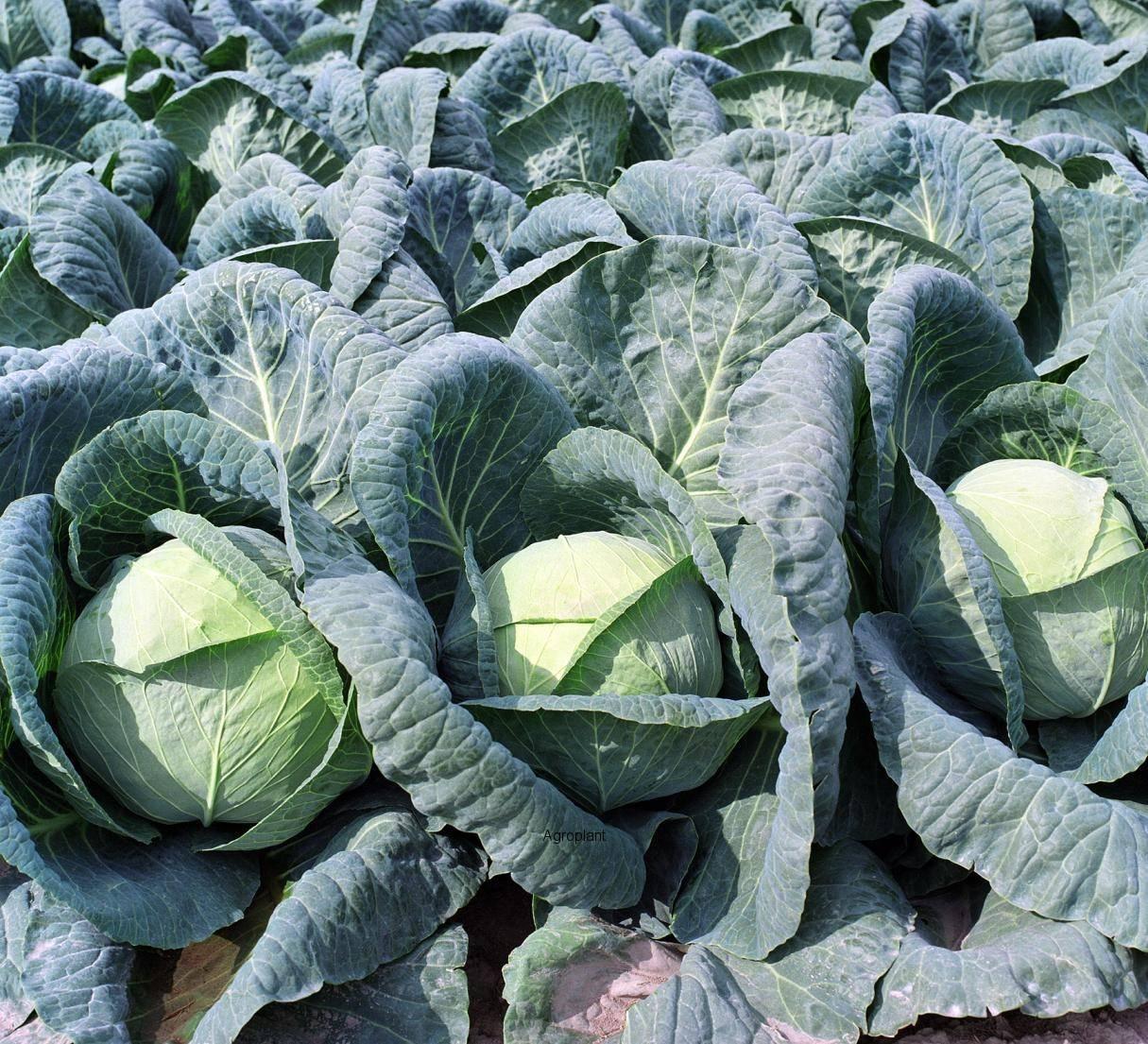 Характеристика капусты сорта крауткайзер - агро журнал dachnye-fei.ru