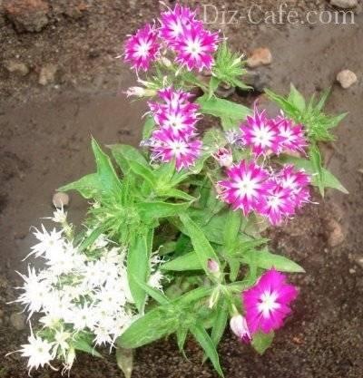 Флокс друммонда: выращивание из семян, уход, сорта