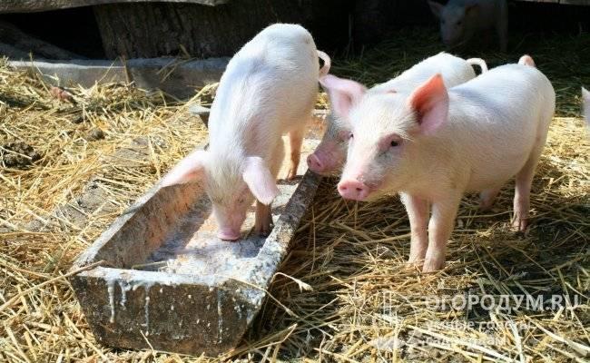 Какие препараты, витамины и гормоны давать для быстрого роста свиней