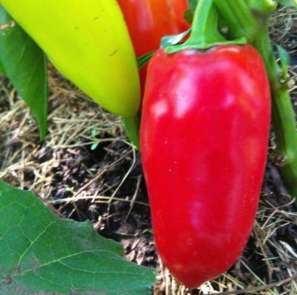 Перец ласточка: характеристика и описание сорта
