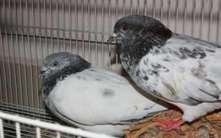 Искусные летуны — пакистанские бойные голуби