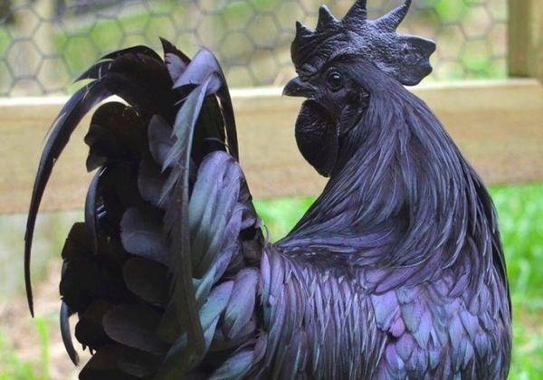 Порода кур ухейилюй: описание и характеристики, правила содержания, яйценоскость