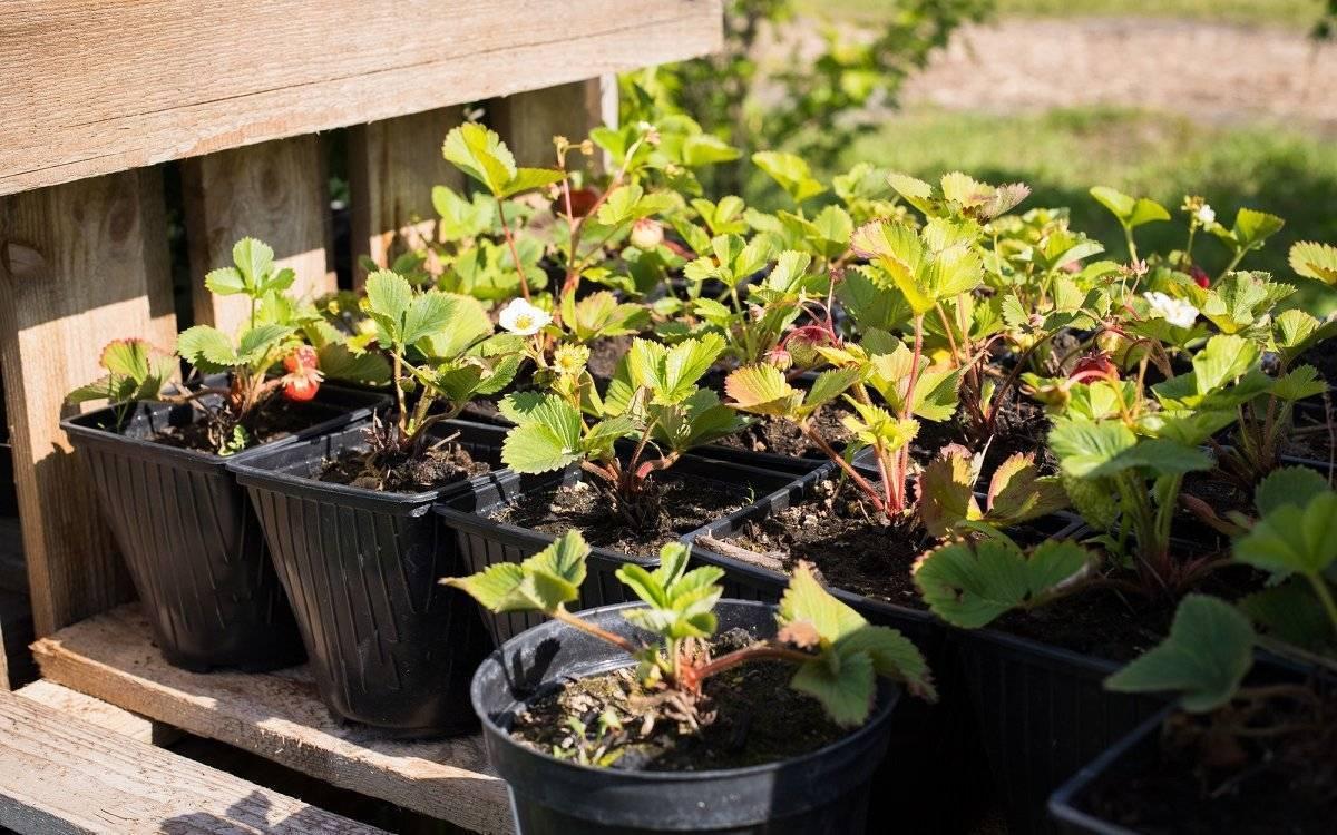 Выращивание клубники (садовой земляники) из семян в домашних условиях. фото — ботаничка.ru