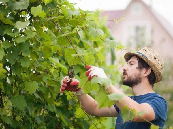 Правила летней обрезки винограда