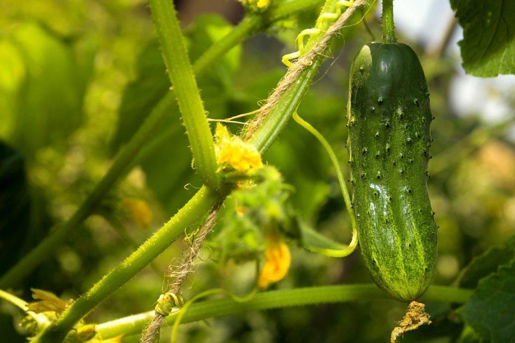 Сорта огурцов для урала | вырасти сад!
