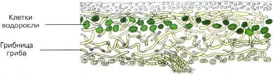 Сожительство водорослей с другими организмами (т. в. седова) [1977 - - жизнь растений. том 3. водоросли. лишайники]