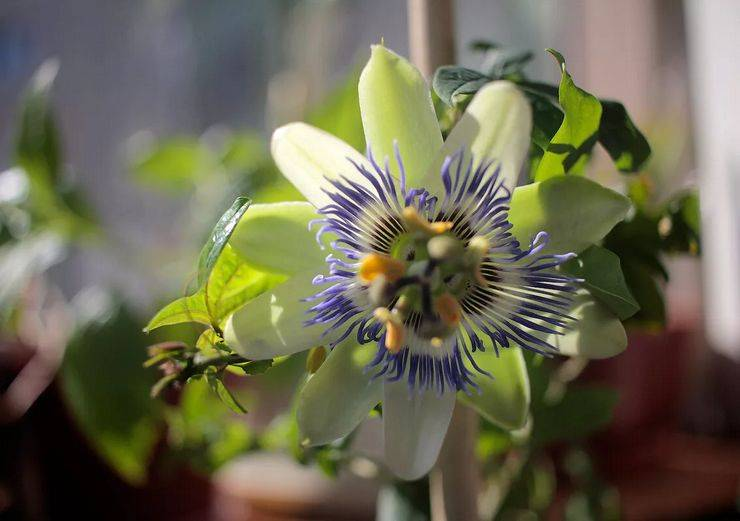 Цветок пассифлора: виды и сорта, посадка и уход в домашних условиях, фото
