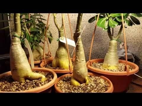 Адениум: советы и рекомендации по размножению кактусов (120 фото и видео)