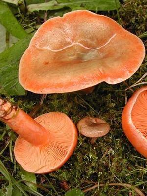 Грибы рыжики: где искать и когда собирать. самый полный обзор грибов рыжиков | блог для дачника.