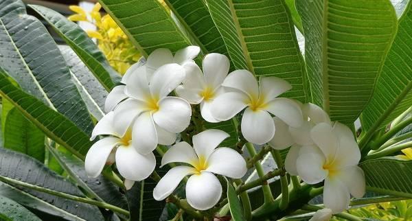 ᐉ цветок плюмерия: уход в домашних условиях, фото и виды, выращивание из семян - roza-zanoza.ru