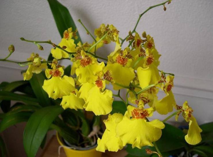 Цимбидиум домашний - фото орхидеи, уход, пересадка цветка, полив, размножение