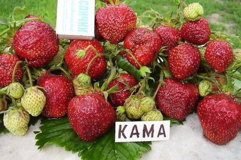 Выращивание клубники: лучшие сорта, крупноплодные, ремонтантные, ксд, нсд, особенности ухода, секреты повышения урожайности