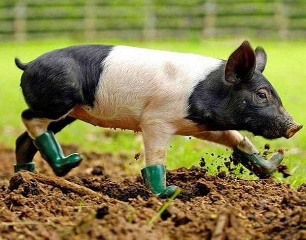 Сонник свинья  приснилась, к чему снится свинья во сне видеть?