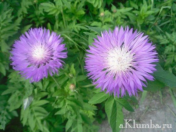 Василёк махровый выращивание из семян: когда сажать на рассаду в теплицу, уход и болезни + фото